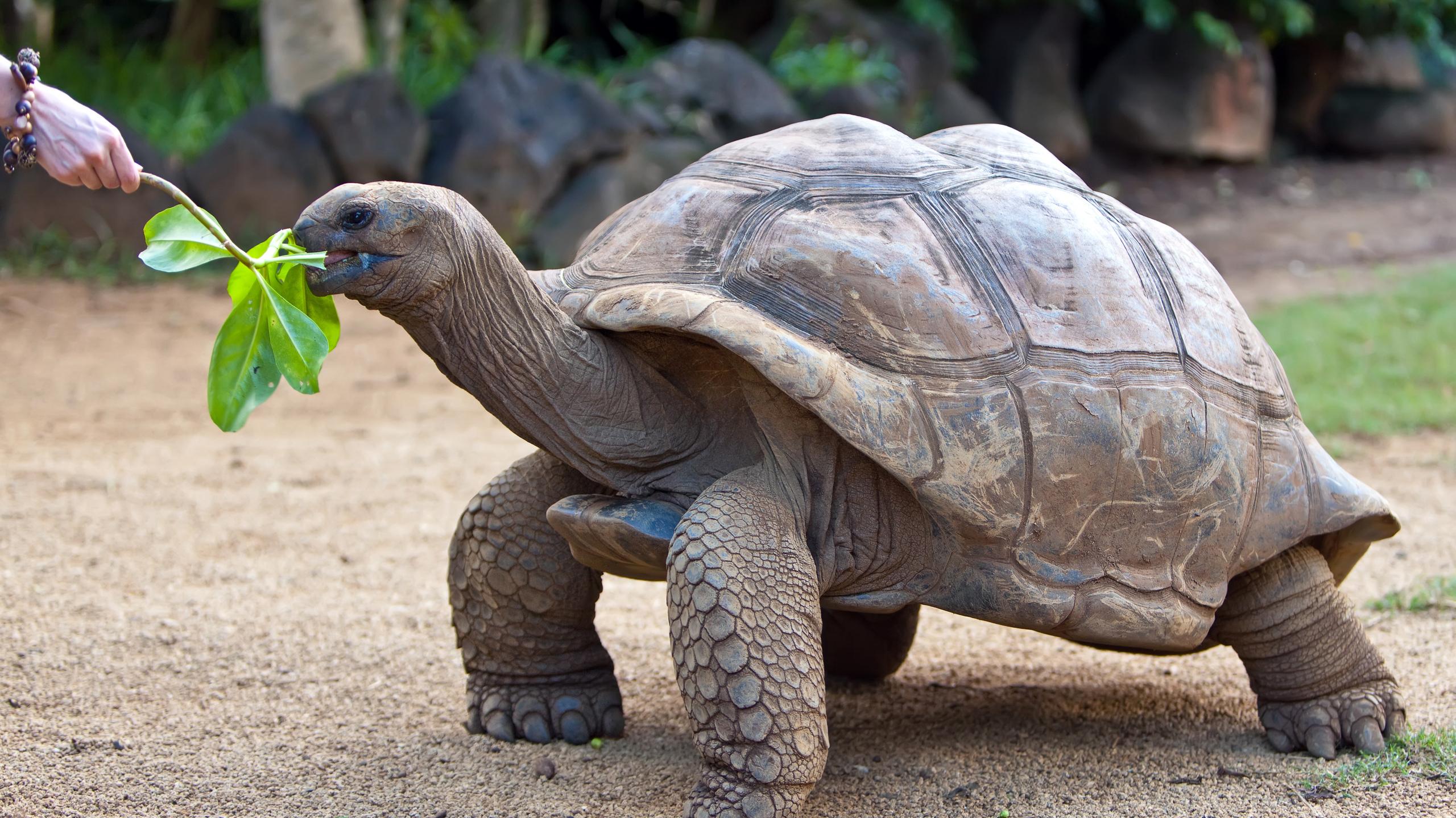 Вес пресмыкающихся достигает 250 кг, а продолжительность их жизни составляет 150 лет
