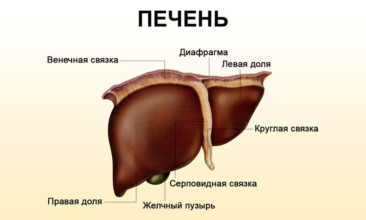 Печень относится к жизненно важным органам