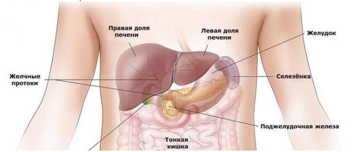 Анатомия человека селезенка расположение