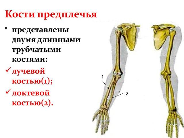 Картинка с изображением костей предплечья