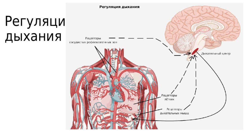 Где расположен Дыхательный центр - в головном мозге?