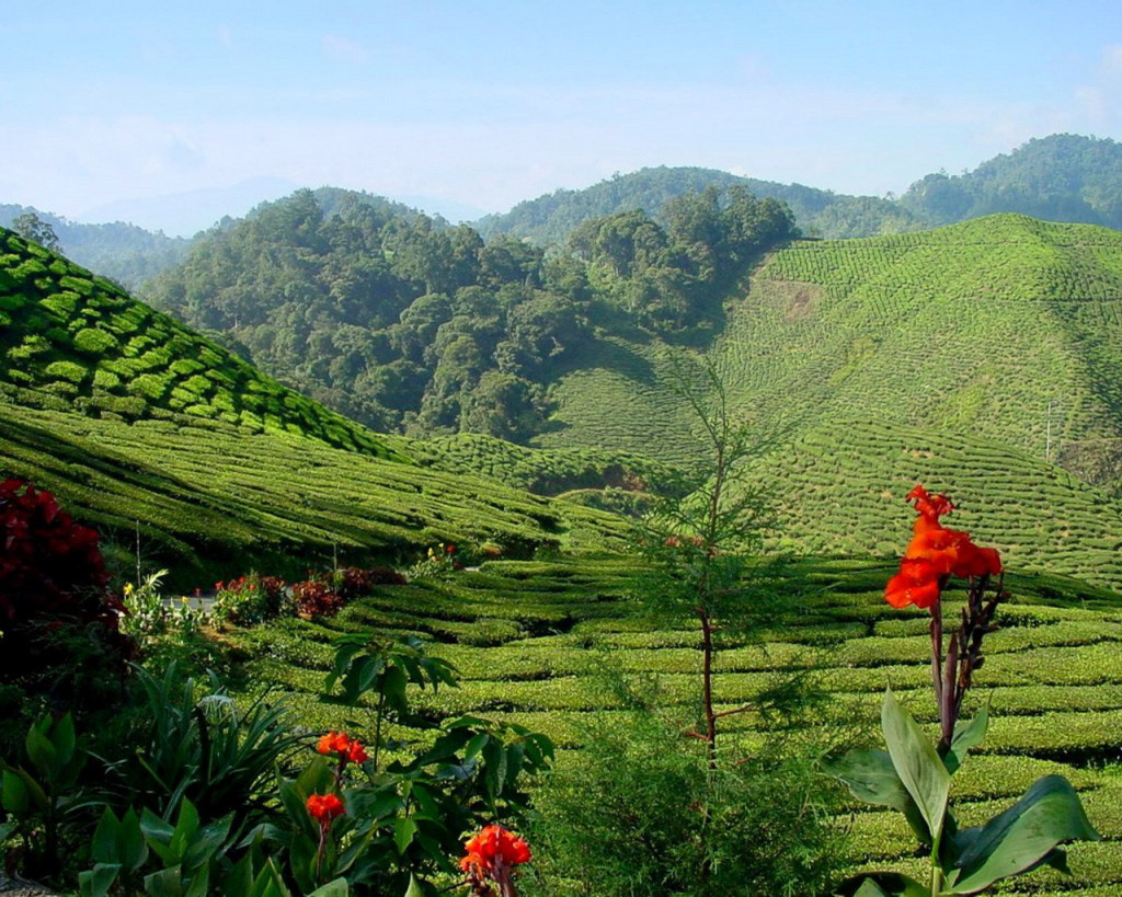 Выращивание чая в Малайзии